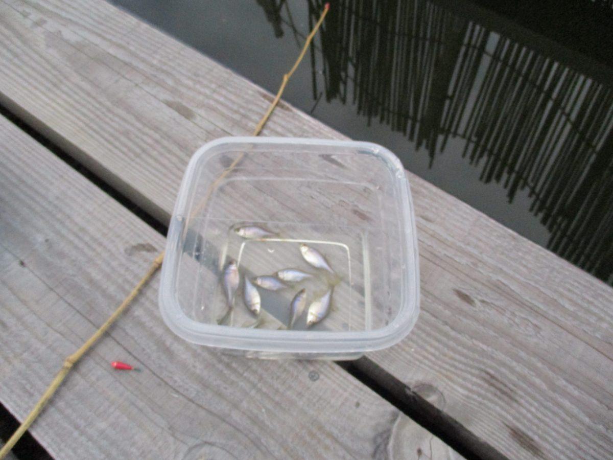 トムソーヤのタナゴ釣り
