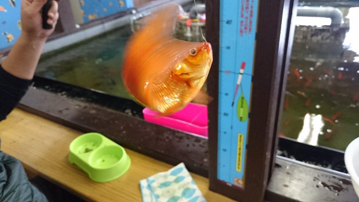 金魚。元気です